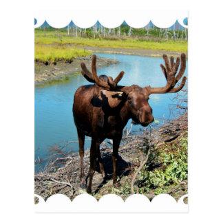 Postal de los alces de Bull