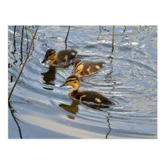 Postal de los anadones del pato silvestre