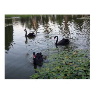postal de los cisnes negros