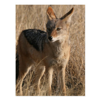 Postal de los coyotes del bebé