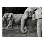 Postal de los elefantes asiáticos