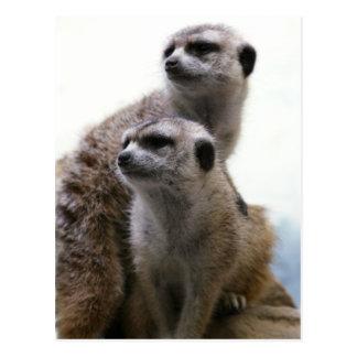 Postal de los pares de Meerkat