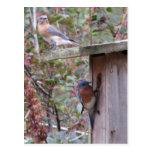 Postal de los pares del Bluebird