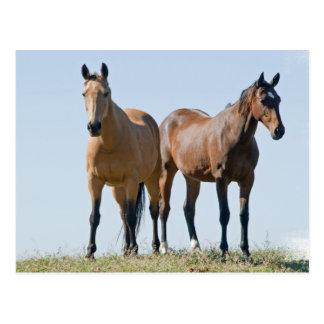 Postal de los pares del caballo del mustango