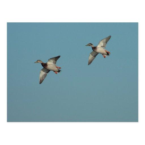 Postal de los patos en vuelo