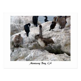 Postal de los pelícanos de Monterey