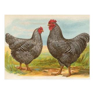 """Postal de los """"pollos barrados de Plymouth Rock"""""""