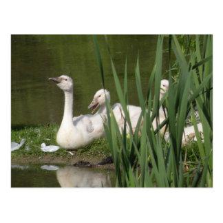 Postal de los pollos del cisne del cisne mudo