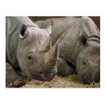 Postal de los Rhinos el dormir