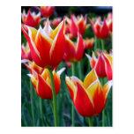 Postal de los tulipanes 3