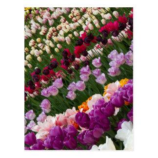 Postal de los tulipanes