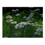 Postal de los Wildflowers del prado