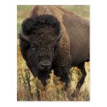 Postal de madera del bisonte
