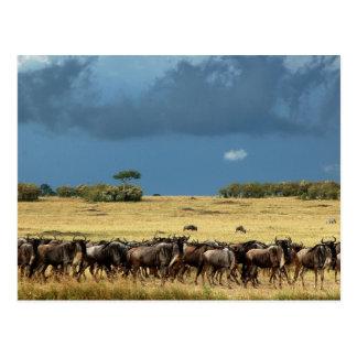 Postal de Mara Kenia del Masai de la migración del