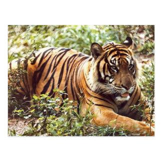 Postal de reclinación del tigre de Sumatran