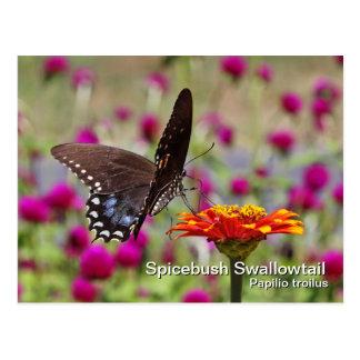 Postal de Spicebush Swallowtail