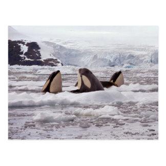 Postal de Spyhopping de las orcas