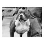 Postal de Staffordshire Terrier americano
