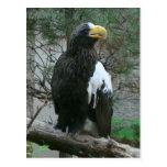 Postal de Stellers Eagle