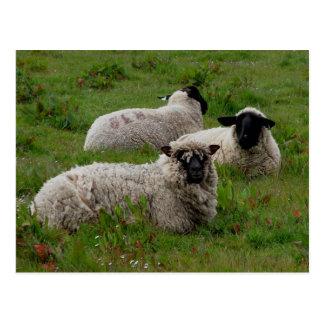Postal de tres Sheepm