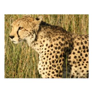 Postal de vagabundeo del guepardo