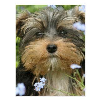 Postal de York Terrier