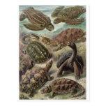 Postal del arte de Ernst Haeckel: Chelonia