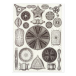 Postal del arte de Ernst Haeckel: Diatomea