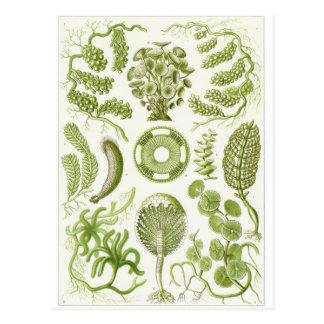 Postal del arte de Ernst Haeckel: Siphoneae