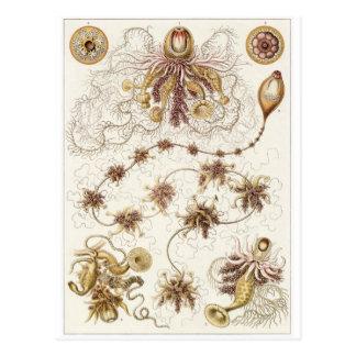 Postal del arte de Ernst Haeckel Siphonophorae