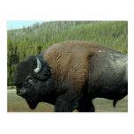 Postal del bisonte