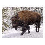 Postal del bisonte americano (bisonte del bisonte)