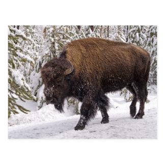 Postal del bisonte americano bisonte del bisonte