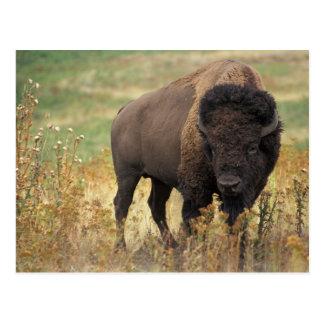 Postal del bisonte americano