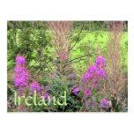Postal del brezo de Irlanda