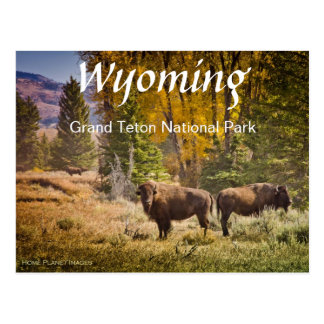 Postal del búfalo de Wyoming