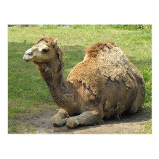 Postal del camello