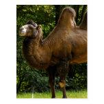 Postal del camello de dos Humped