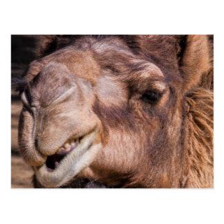 Postal del camello Smirking