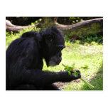 Postal del chimpancé del viejo hombre