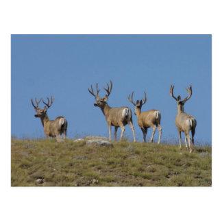 Postal del ciervo mula D0009