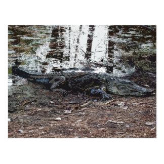Postal del cocodrilo americano