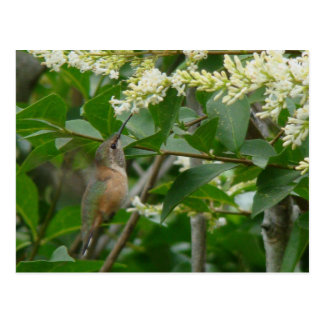 Postal del colibrí de Allen
