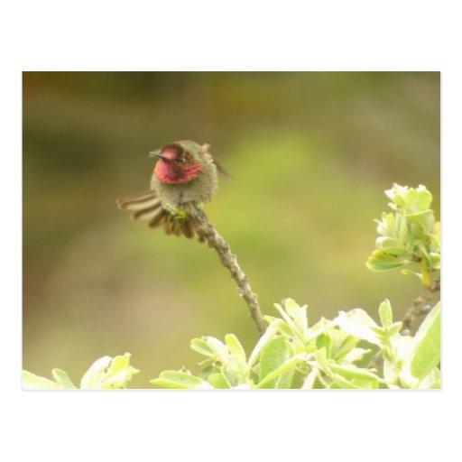 Postal del colibrí de Ana enojado