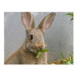 Postal del conejo de conejo de rabo blanco
