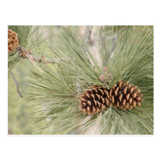 Postal del cono del pino