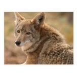 Postal del coyote