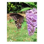 Postal del ~ de la mariposa de Spicebush