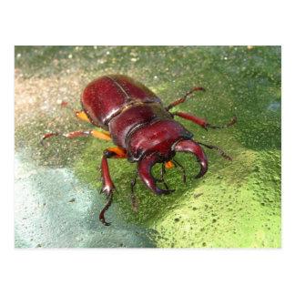 Postal del ~ del escarabajo de macho