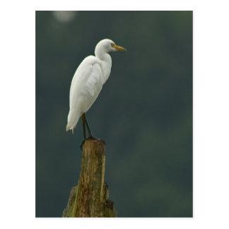 Postal del Egret de ganado